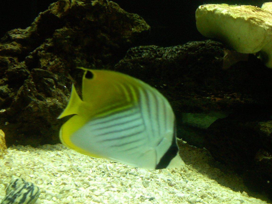 saltwater fish - chaetodon auriga - auriga butterflyfish stocking in 125 gallons tank - Auriga butterfly