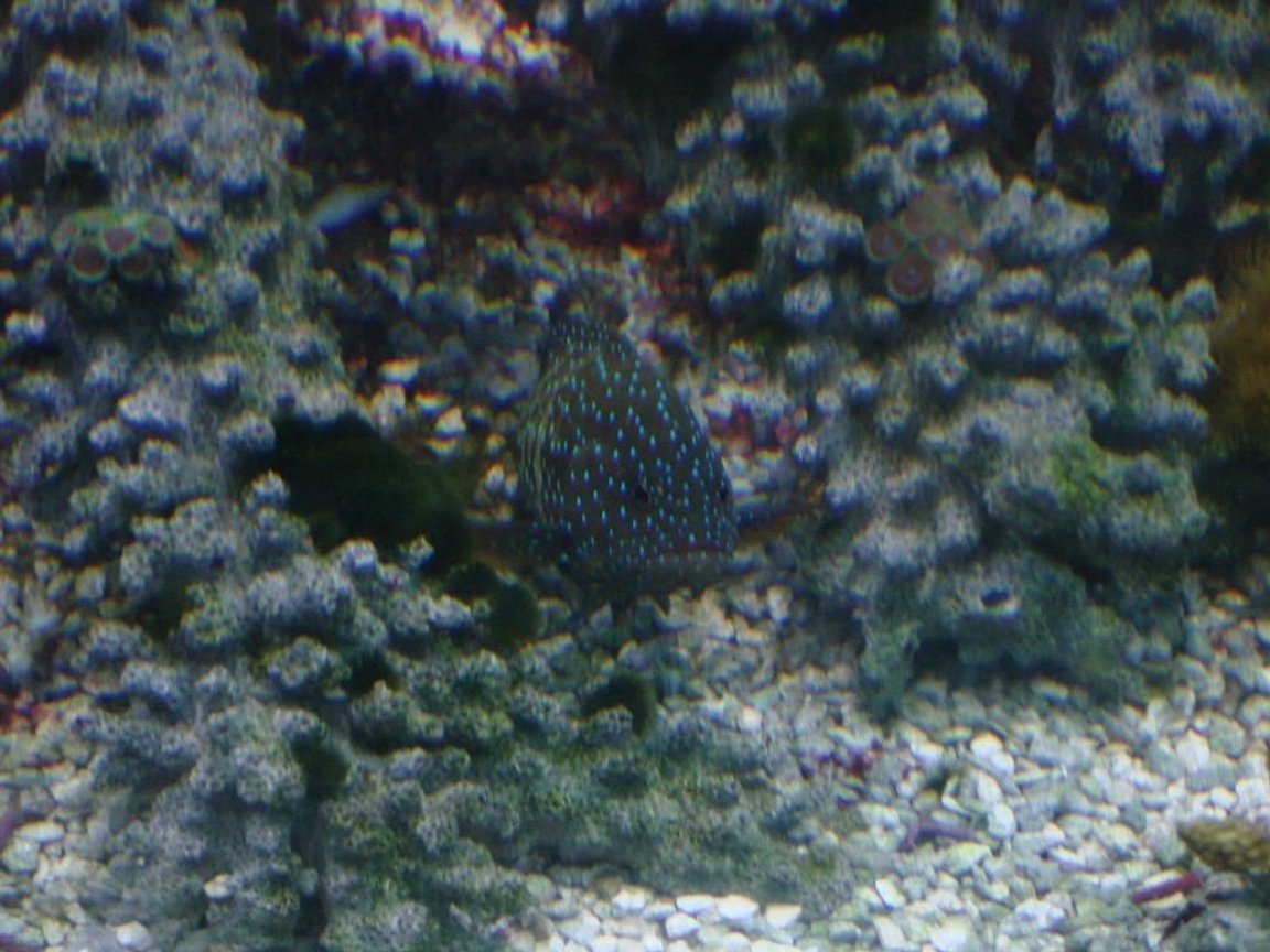 saltwater fish - cephalopholis argus - blue dot grouper stocking in 125 gallons tank - the grouper