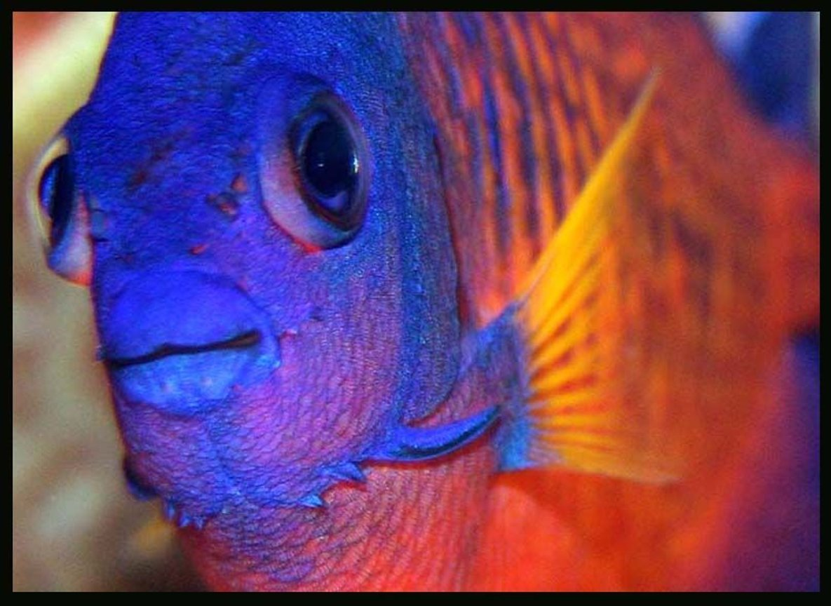 saltwater fish - centropyge bispinosa - coral beauty angelfish stocking in 35 gallons tank - Coral Beauty