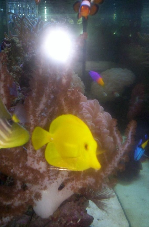 saltwater fish - zebrasoma flavescens - yellow tang - hawaii stocking in 55 gallons tank - ;)