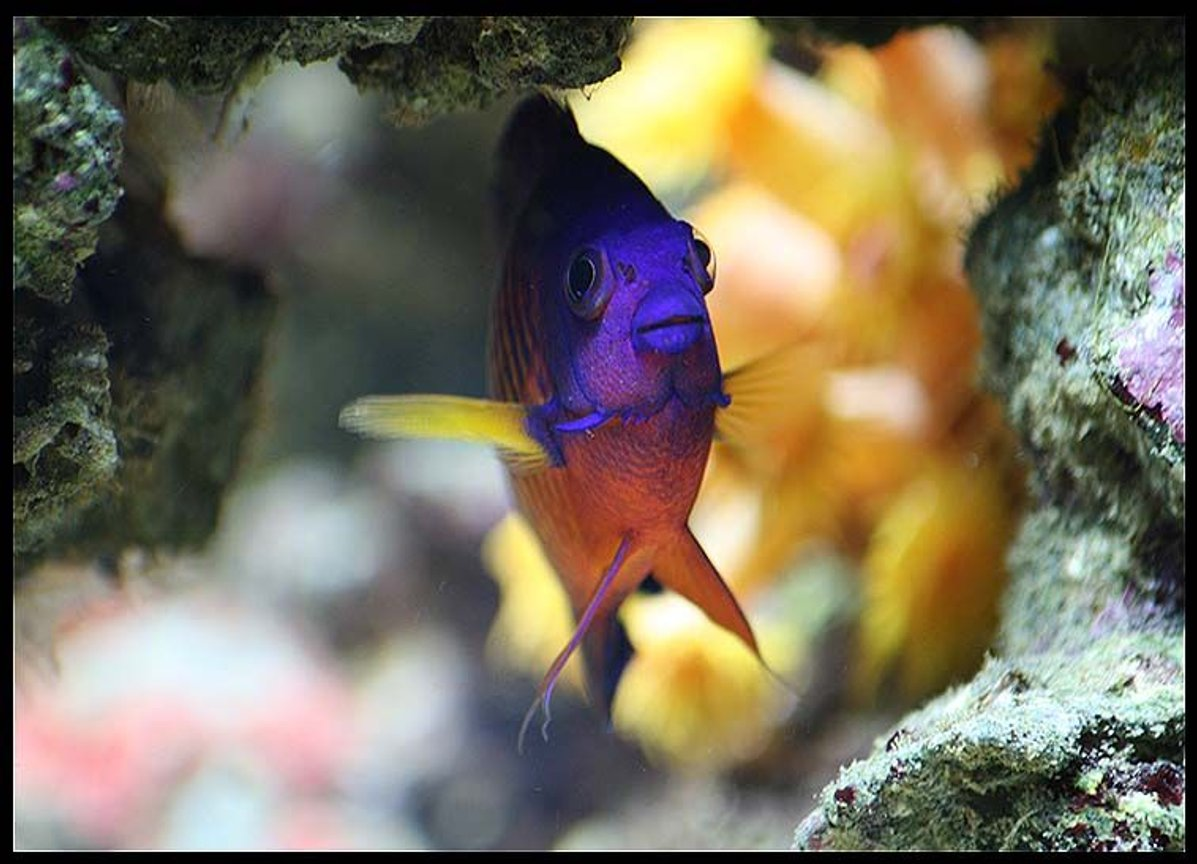 saltwater fish - centropyge bispinosa - coral beauty angelfish stocking in 35 gallons tank - Echo the coral beauty dwarf angel