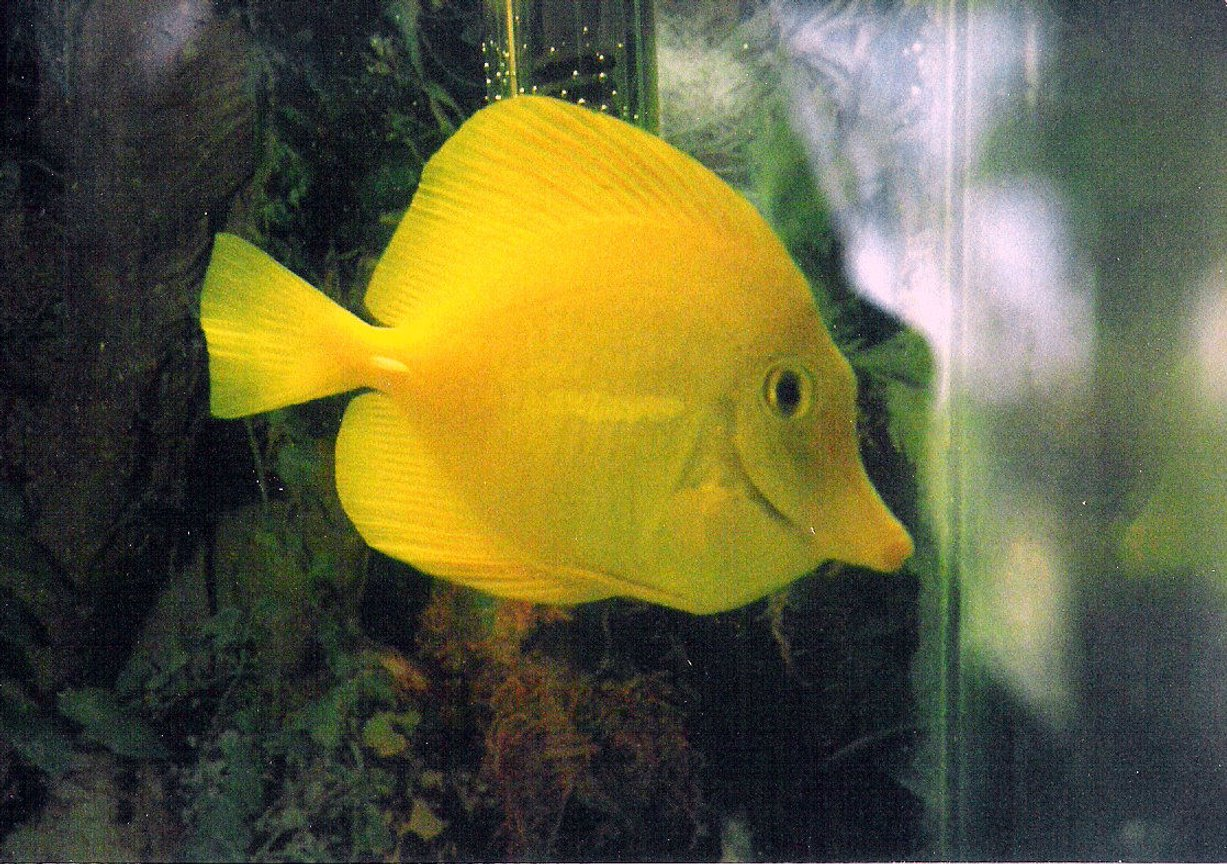 saltwater fish - zebrasoma flavescens - yellow tang - hawaii stocking in 40 gallons tank - Yellow Tang