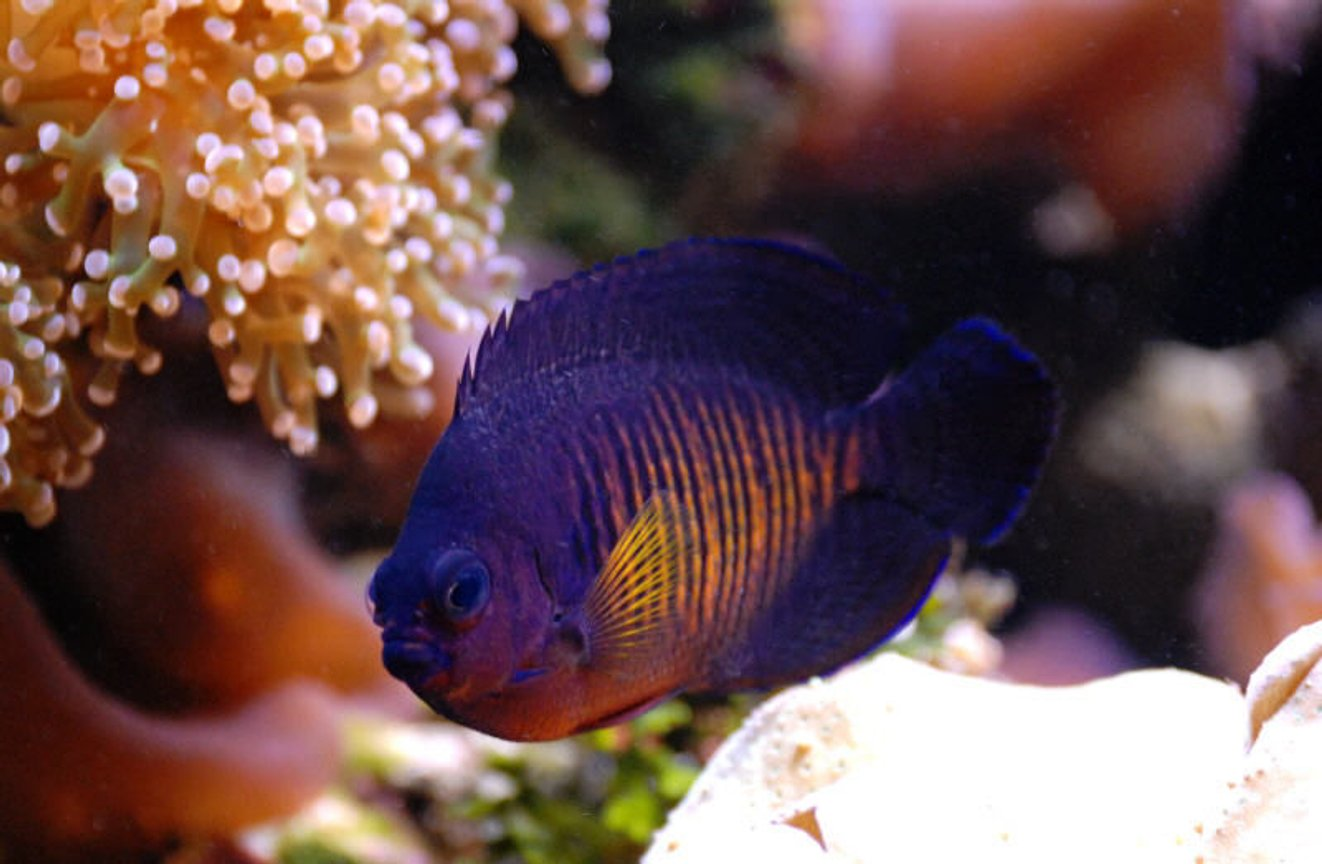 saltwater fish - centropyge bispinosa - coral beauty angelfish stocking in 125 gallons tank - Coral Beauty Angel in 125 reef