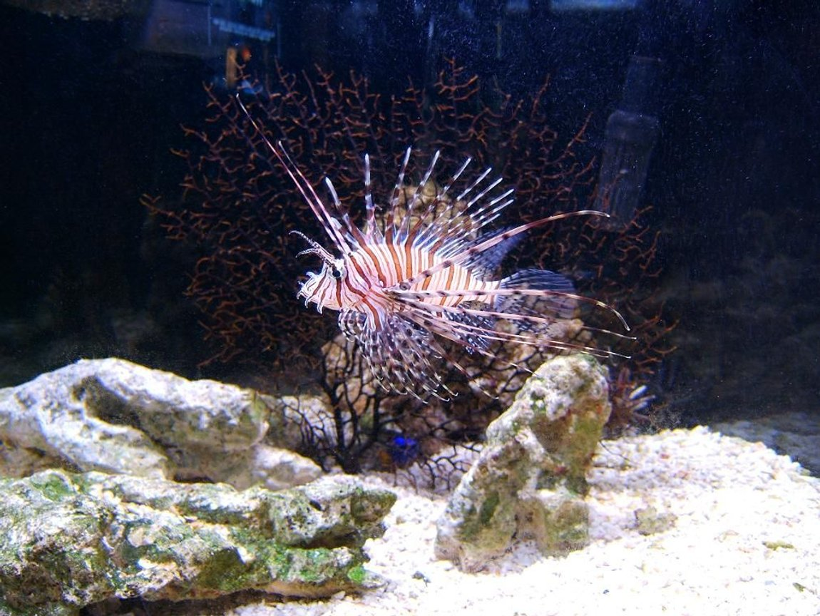 saltwater fish - pterois volitans - volitan lionfish stocking in 72 gallons tank - Our lionfish :)