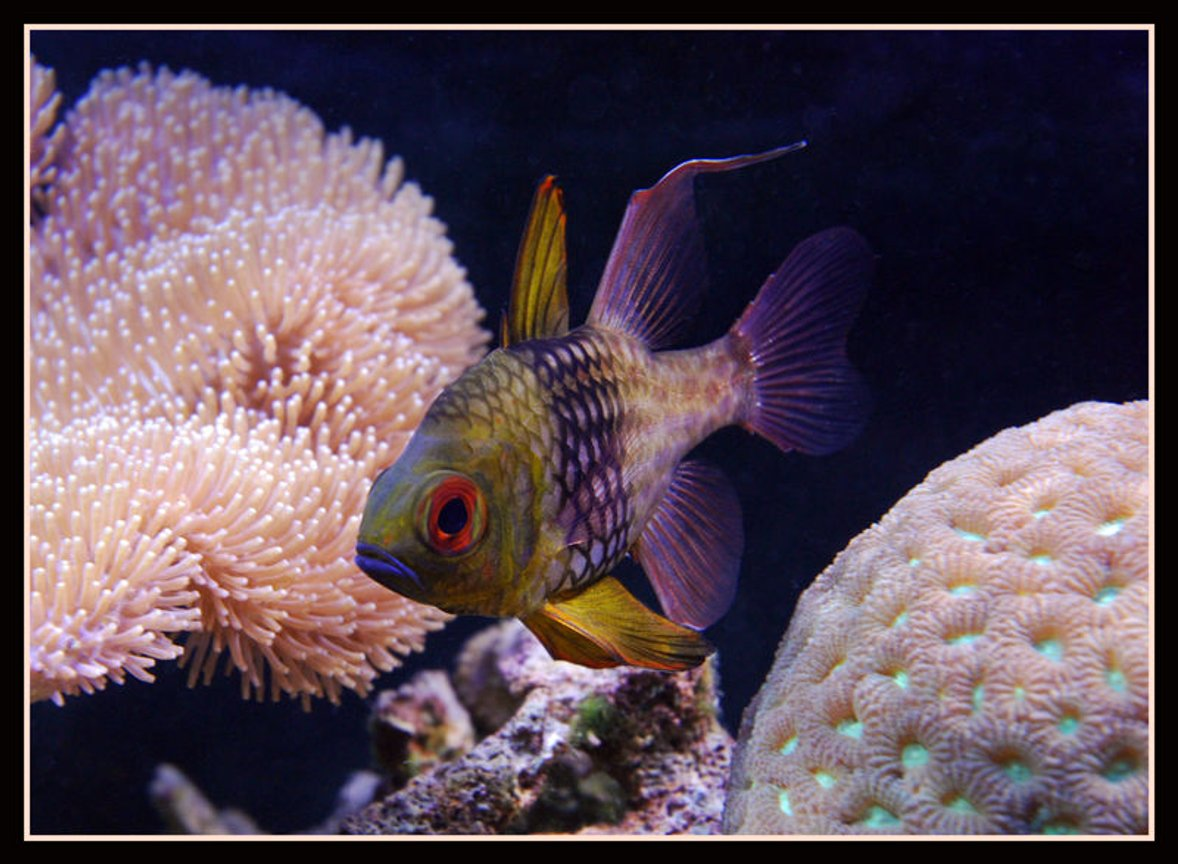 saltwater fish - sphaeramia nematoptera - spotted cardinalfish stocking in 125 gallons tank - Pijama Cardenal