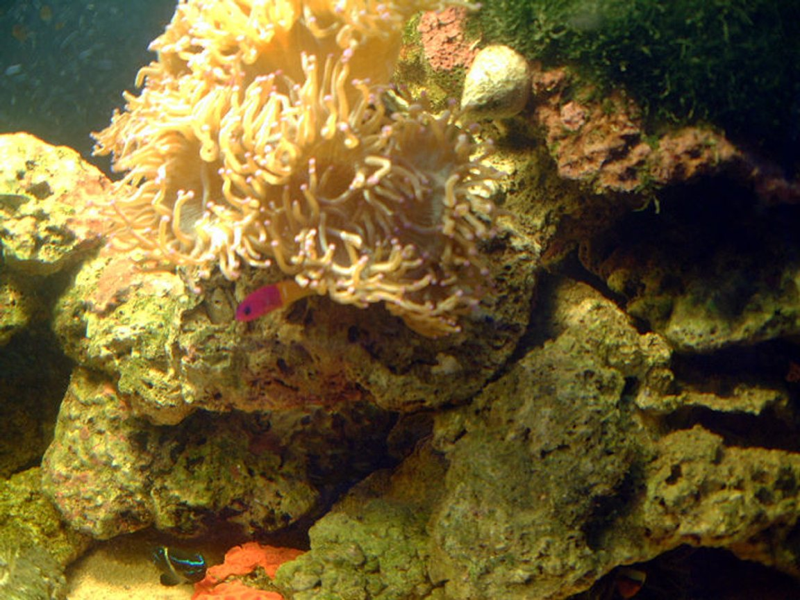 saltwater fish - pictichromis paccagnellae - bicolor dottyback stocking in 75 gallons tank - one corner of tank