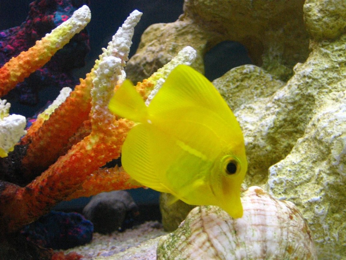 saltwater fish - zebrasoma flavescens - yellow tang - hawaii stocking in 105 gallons tank - Zebrasoma Flavescens