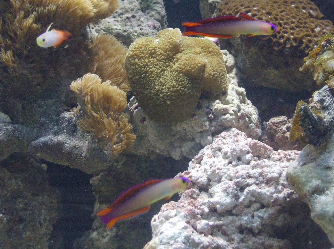 saltwater fish - nemateleotris decora - firefish, purple stocking in 90 gallons tank - some purple, red dartfishes
