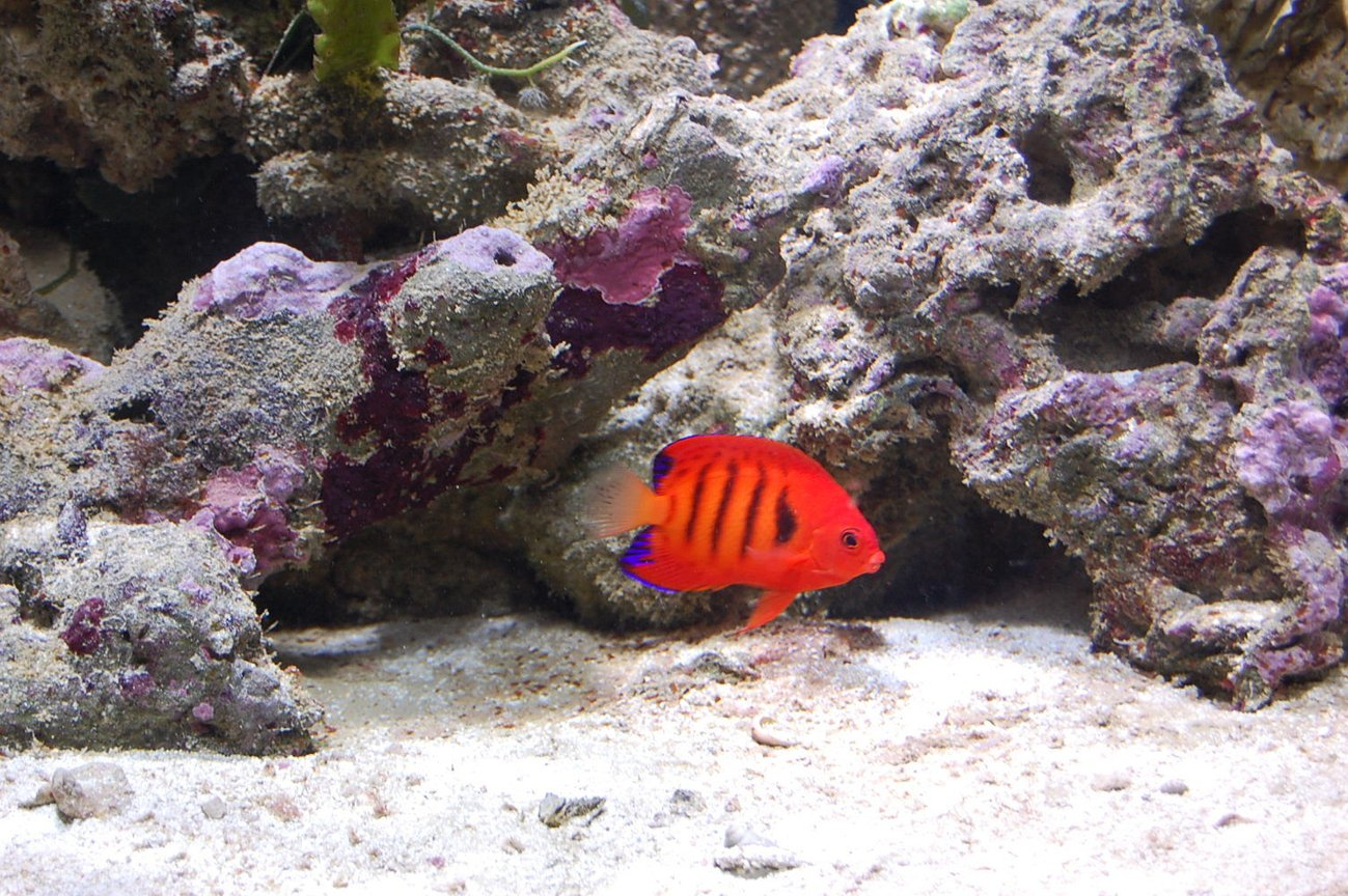 saltwater fish - centropyge loriculus - flame angelfish stocking in 40 gallons tank - My Flame Angel