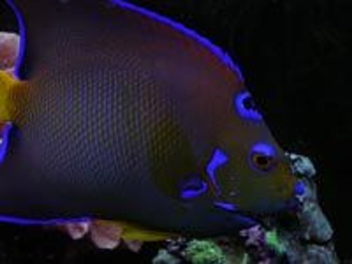 saltwater fish - holacanthus ciliaris - queen angelfish stocking in 55 gallons tank - same fish.