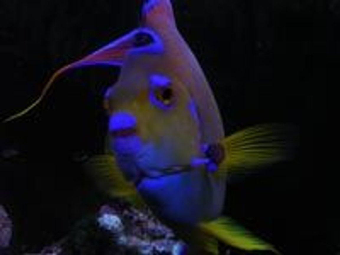 saltwater fish - holacanthus ciliaris - queen angelfish stocking in 55 gallons tank - Hi! Feeding time!