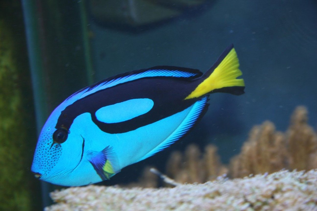 saltwater fish - paracanthurus hepatus - blue tang stocking in 200 gallons tank - My Blue (hippo) tang, as yet unnamed,