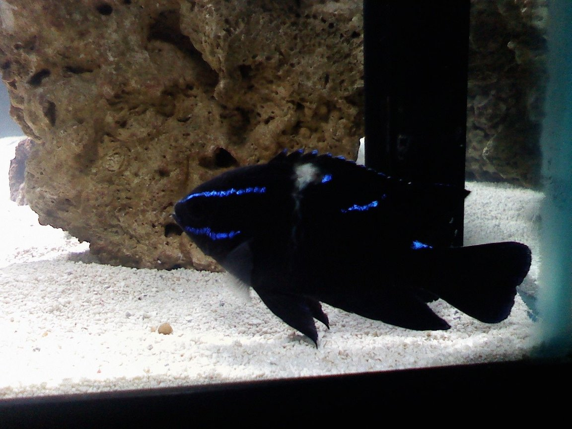 saltwater fish - neoglyphidodon oxyodon - black velvet damsel stocking in 75 gallons tank - Black Velvet Damsel