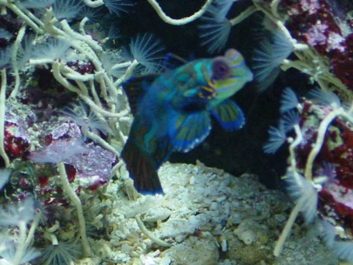 saltwater fish - synchiropus splendidus - green mandarin stocking in 155 gallons tank - mandarin