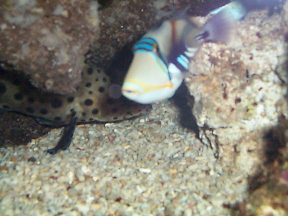 saltwater fish - rhinecanthus aculeatus - humu picasso triggerfish stocking in 90 gallons tank - huma