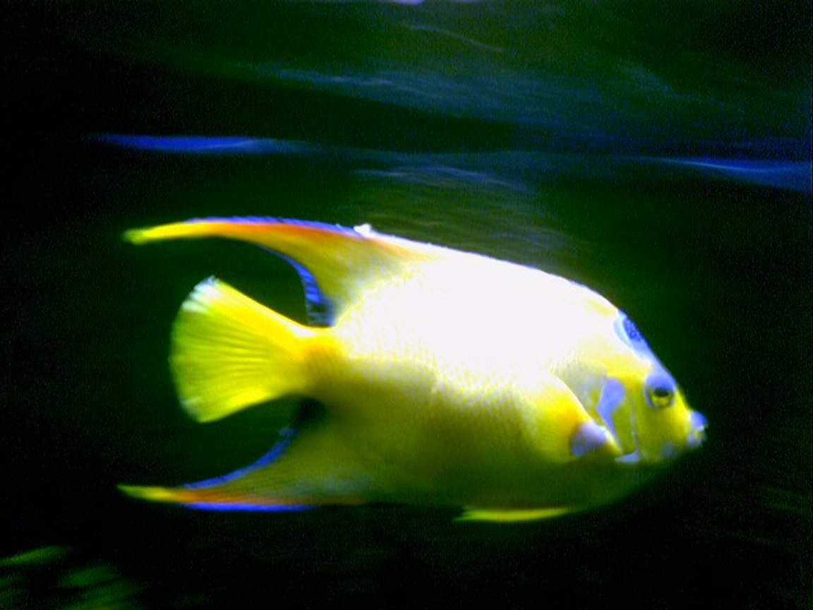 saltwater fish - holacanthus ciliaris - queen angelfish stocking in 125 gallons tank - Queen Angel in my 125