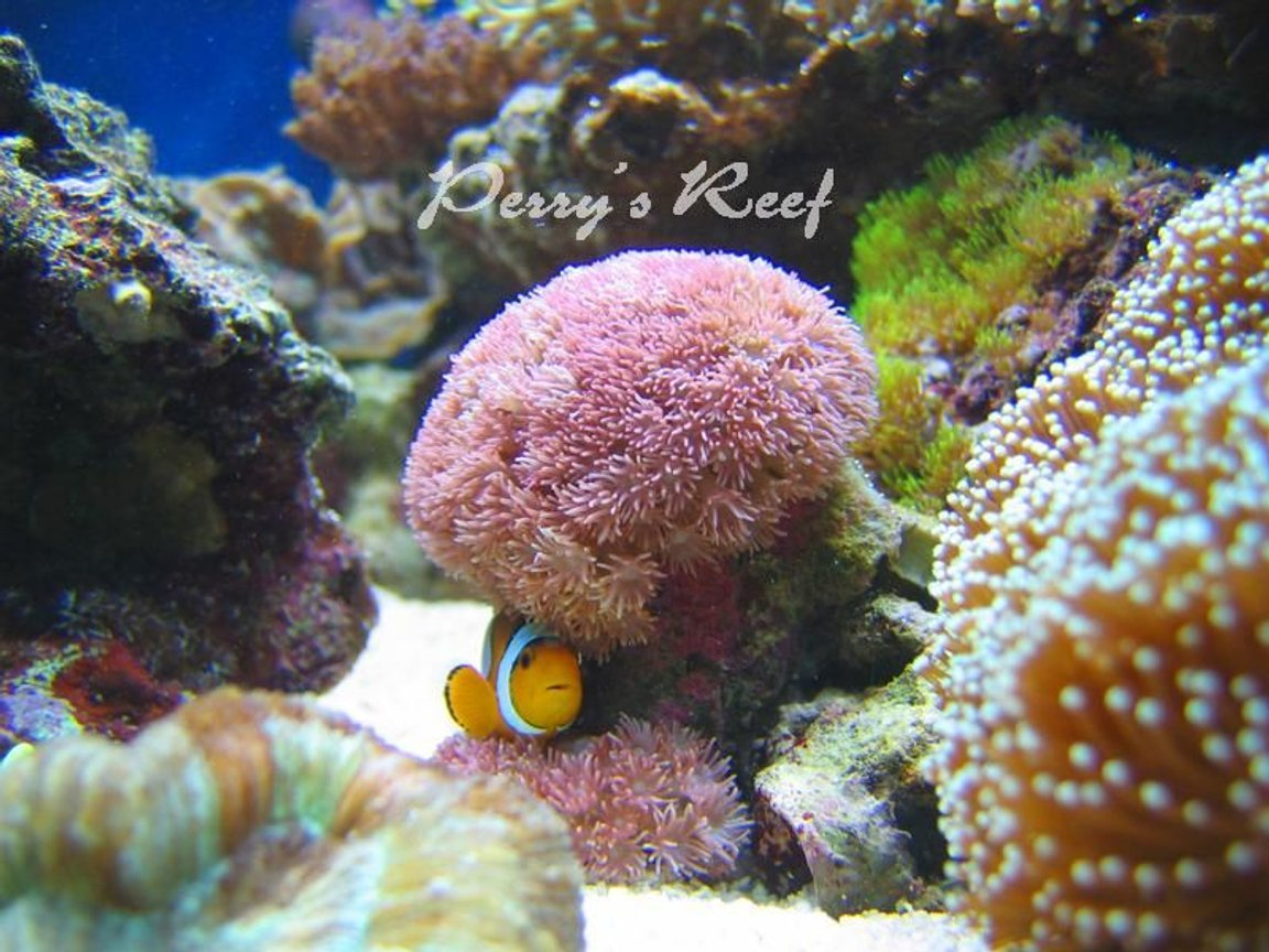 saltwater fish - amphiprion ocellaris - ocellaris clownfish stocking in 100 gallons tank - ocellaris2