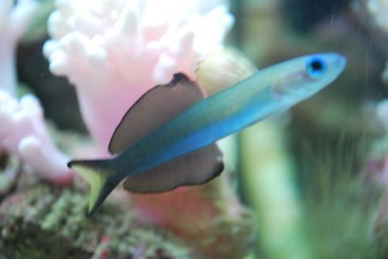 saltwater fish - ptereleotris evides - scissortail dartfish stocking in 60 gallons tank - Side view of our Scissorstail goby (IF YOU DO NOT LIKE OUR PICTURES THEN YOU DO NOT HAVE TO LOOK AT THEM, BUT VOTING 0 IS VERY NEGATIVE ON YOUR PART) PLEASE JUST MOVE ON - THANKS!!!!