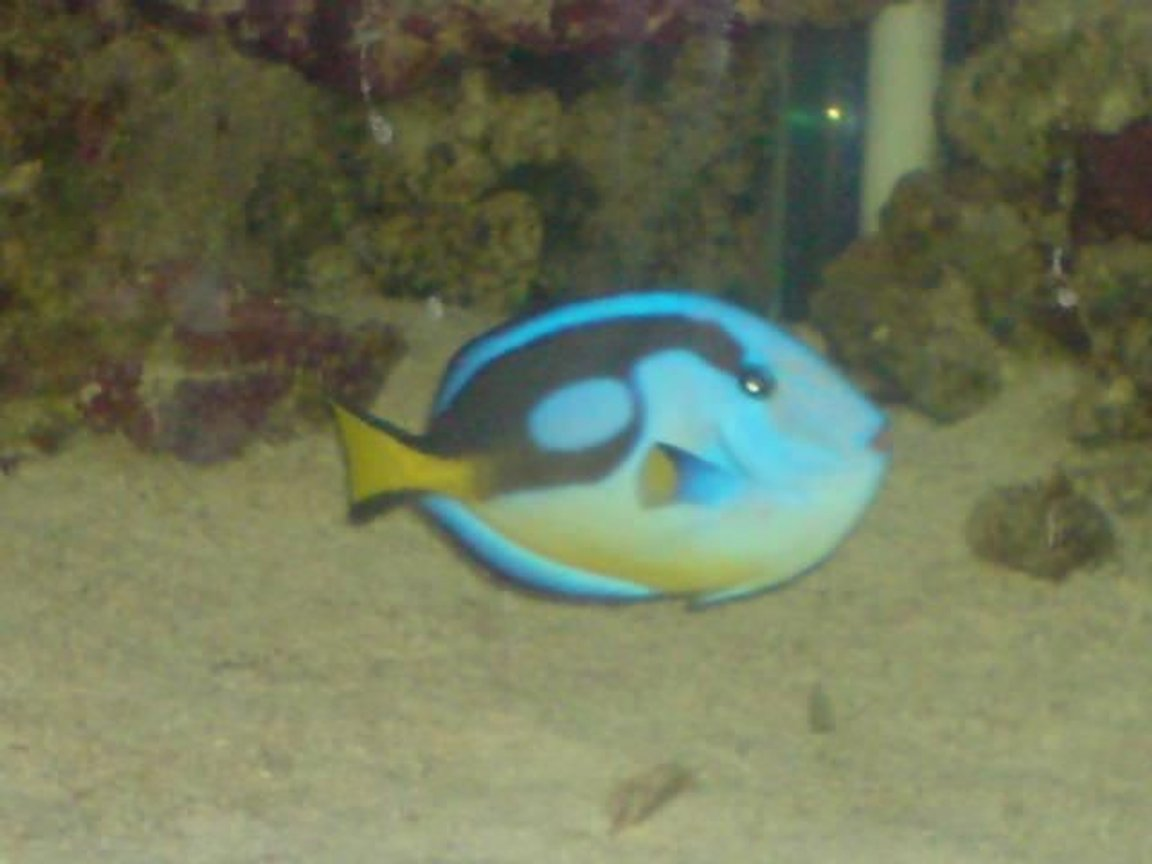 saltwater fish - paracanthurus hepatus - blue tang stocking in 130 gallons tank - my regal tang crap picture i no but he swims so fast!!!!!