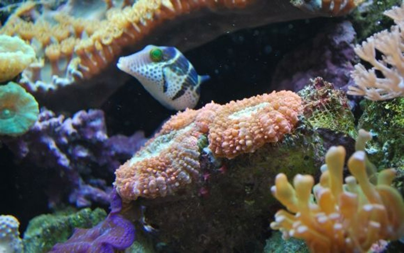 saltwater fish - canthigaster valentini - saddle valentini puffer stocking in 60 gallons tank - Valentinni's sharpnose puffer
