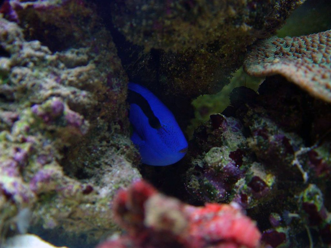 saltwater fish - paracanthurus hepatus - blue tang stocking in 75 gallons tank - Mine and don't you dare come near me.