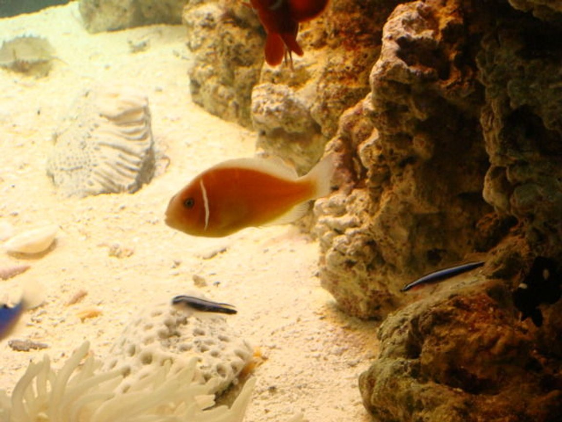 saltwater fish - amphiprion perideraion - pink skunk clownfish stocking in 29 gallons tank - my skunk