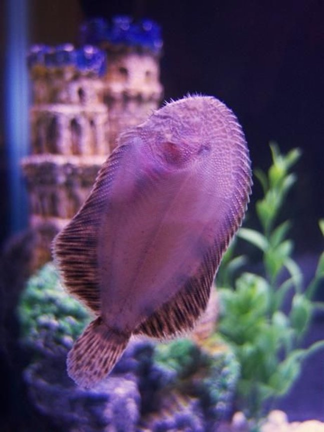 saltwater fish - bothus lunatus - flounder stocking in 29 gallons tank - Bottom Of My Flounder.