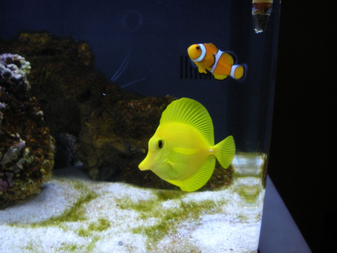 saltwater fish - zebrasoma flavescens - yellow tang - hawaii stocking in 20 gallons tank - Ocellaris Clownfish and Yellow Tang both very new to me
