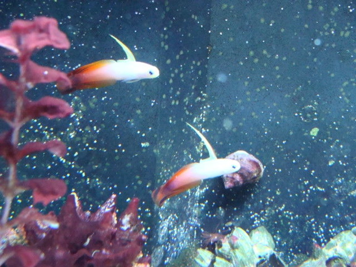 saltwater fish - nemateleotris magnifica - firefish stocking in 75 gallons tank - fire fish pair