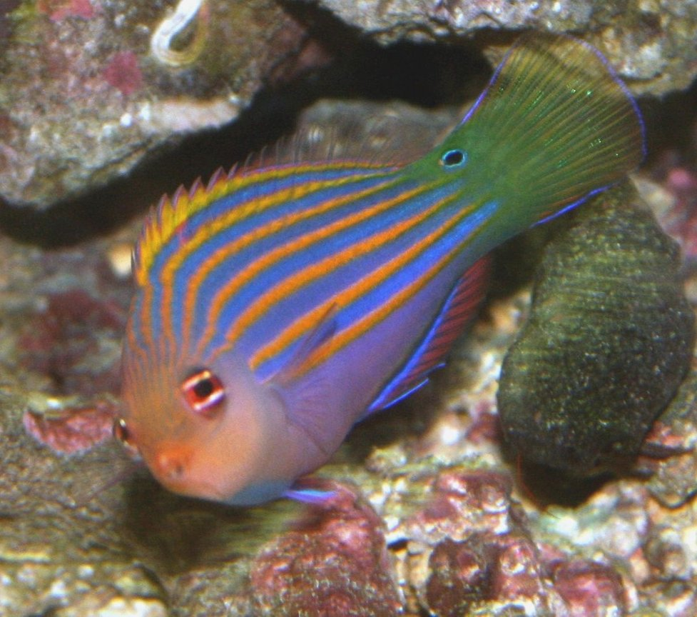 saltwater fish - pseudocheilinus hexataenia - six line wrasse stocking in 40 gallons tank - Six Line Wrasse, Snoopy