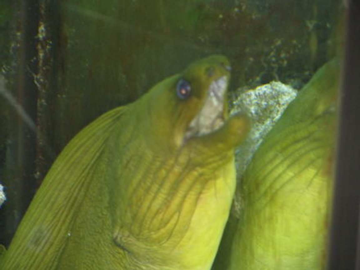 "saltwater fish - gymnothorax funebris - green moray eel stocking in 110 gallons tank - green moray eel ""AMP"""