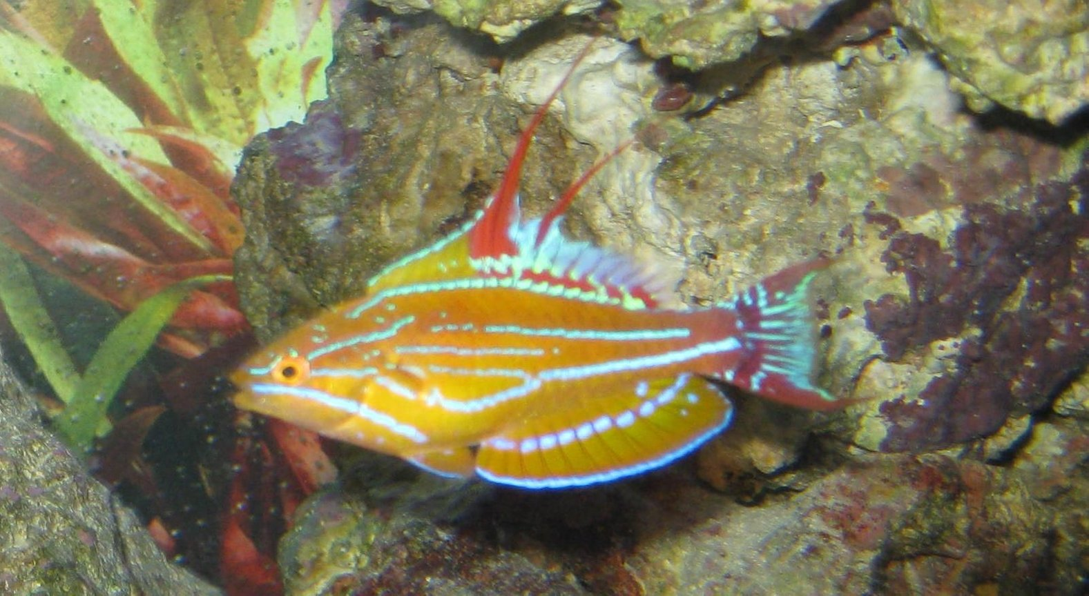 saltwater fish - paracheilinus mccoskeri - mccosker's flasher wrasse stocking in 125 gallons tank - Hybrid flasher wrasse doing his thing