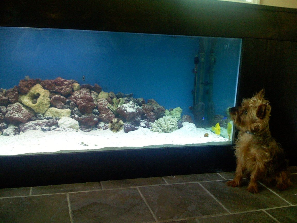 saltwater fish - zebrasoma flavescens - yellow tang - hawaii stocking in 180 gallons tank - My dog checkin out the tang.