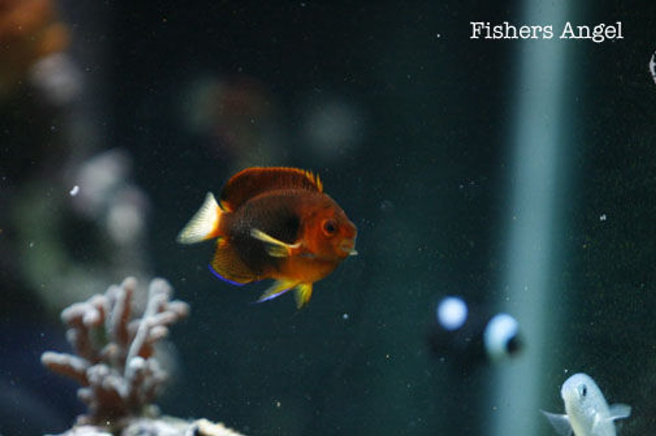 saltwater fish - centropyge fisheri - fisher's angelfish stocking in 120 gallons tank - Fishers angel