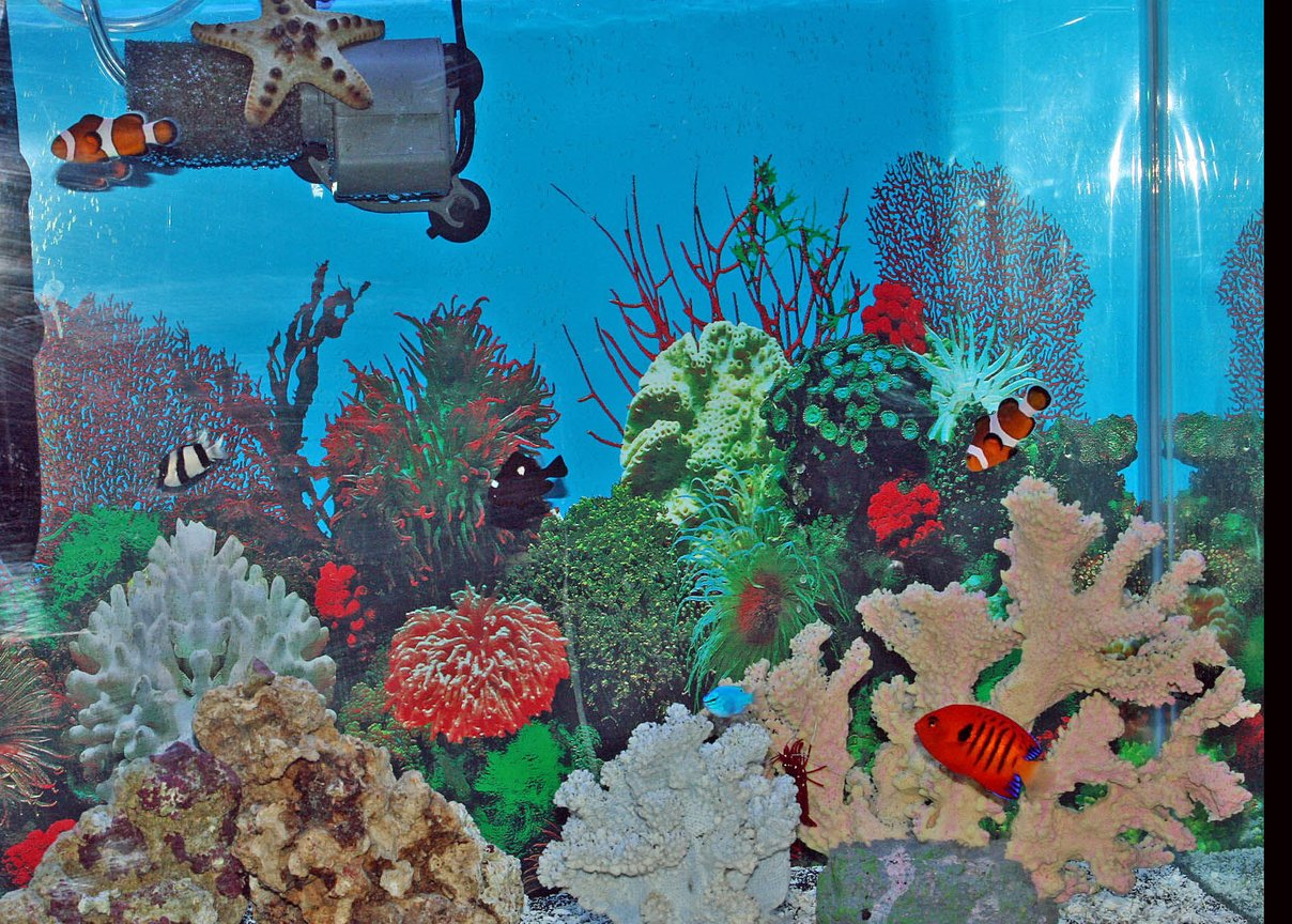 saltwater fish - centropyge loriculus - flame angelfish stocking in 55 gallons tank - my fish