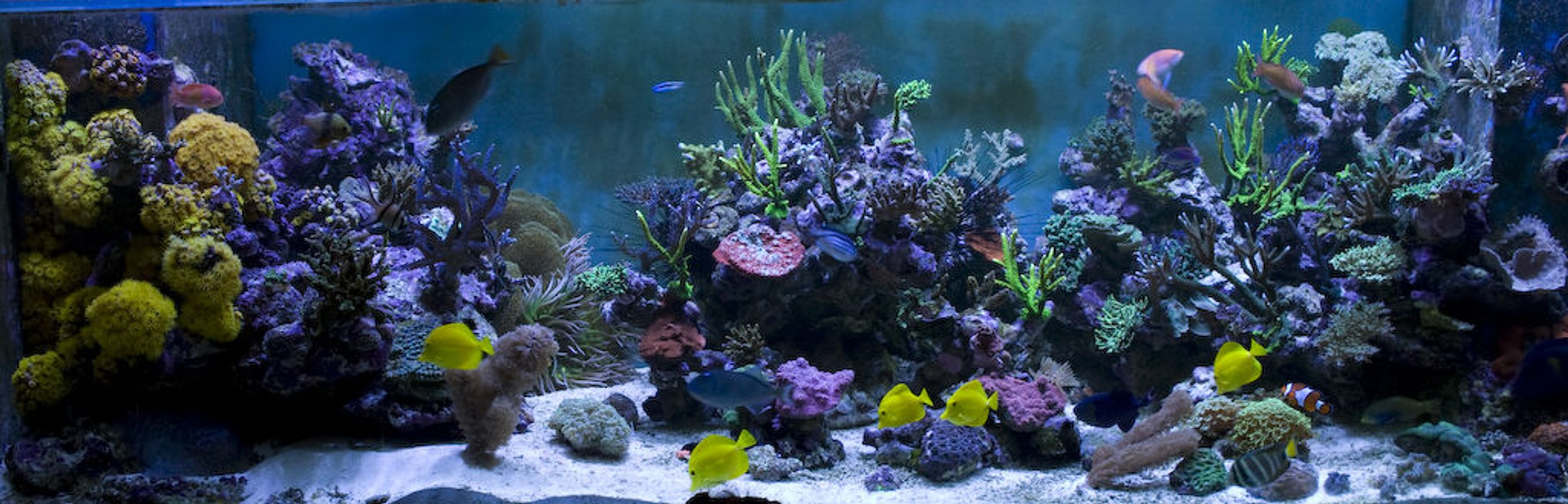 saltwater fish - zebrasoma flavescens - yellow tang - hawaii stocking in 400 gallons tank - 7.5 ft Long - 3 ft Wide - 2.5ft High 6 Ft Sump = 400 UK Gallons 8 Streams all hidden in Weirs GHL Profilux 4 * 400 Watt Halides with Coralview Electronic Ballasts and Luminarc 3 Reflectors. Currently using 20k Radium lamps Aquamedic 5000 Twin Skimmer Aquamedic Titan 2000 Chiller 2 * 150 gallon water change VATS
