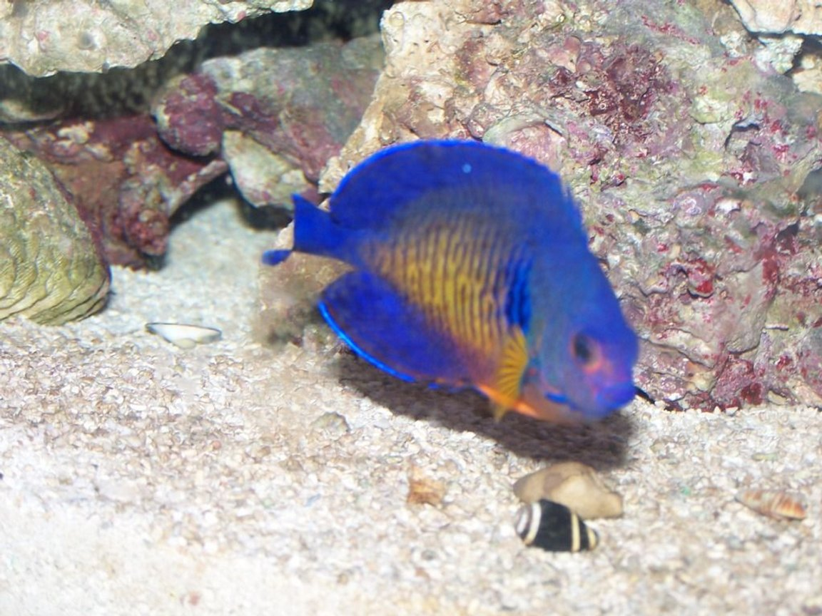 saltwater fish - centropyge bispinosa - coral beauty angelfish stocking in 70 gallons tank - Coral Beauty Angelfish, Gabriel