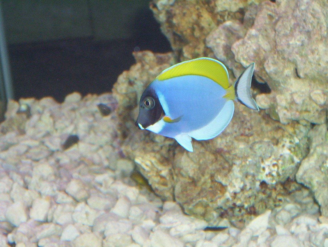 saltwater fish - acanthurus leucosternon - powder blue tang stocking in 75 gallons tank - Powder Blue Tang