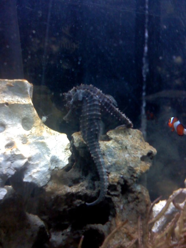 saltwater fish - hippocampus erectus - black seahorse stocking in 30 gallons tank - My horses staring down their food (live Ghost Shrimp) I swear that goes on for at least 5 minutes, sometimes 15 minutes before they eat it. It's beyond me why the shrimp always just stares back at them instead of running. haha.