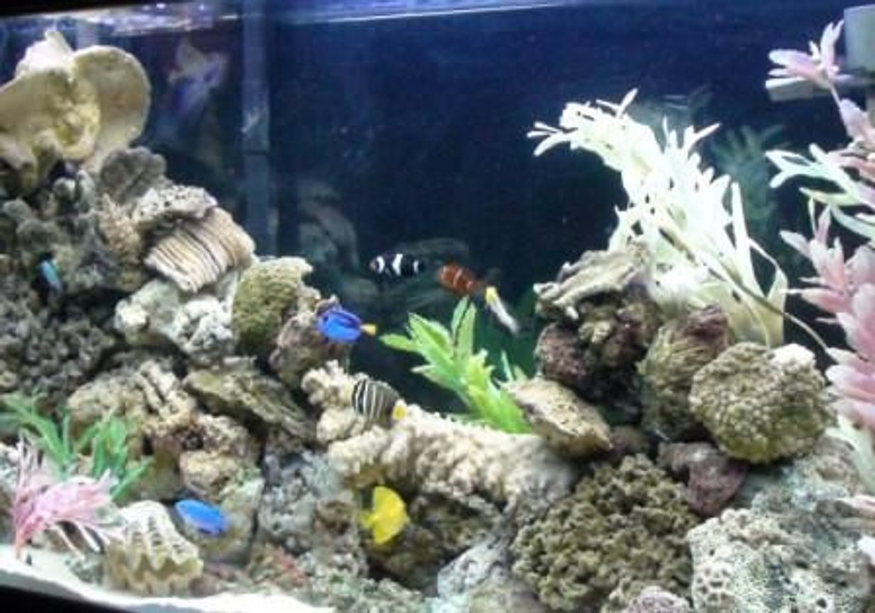 saltwater fish - paracanthurus hepatus - blue tang stocking in 75 gallons tank - my 75 gallon Marine tank.