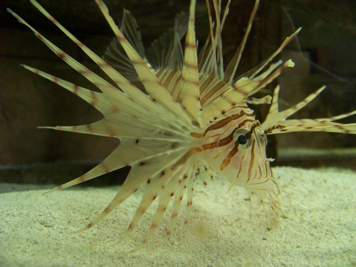 saltwater fish - pterois russelli - russell's lionfish stocking in 120 gallons tank - Russell's Lion