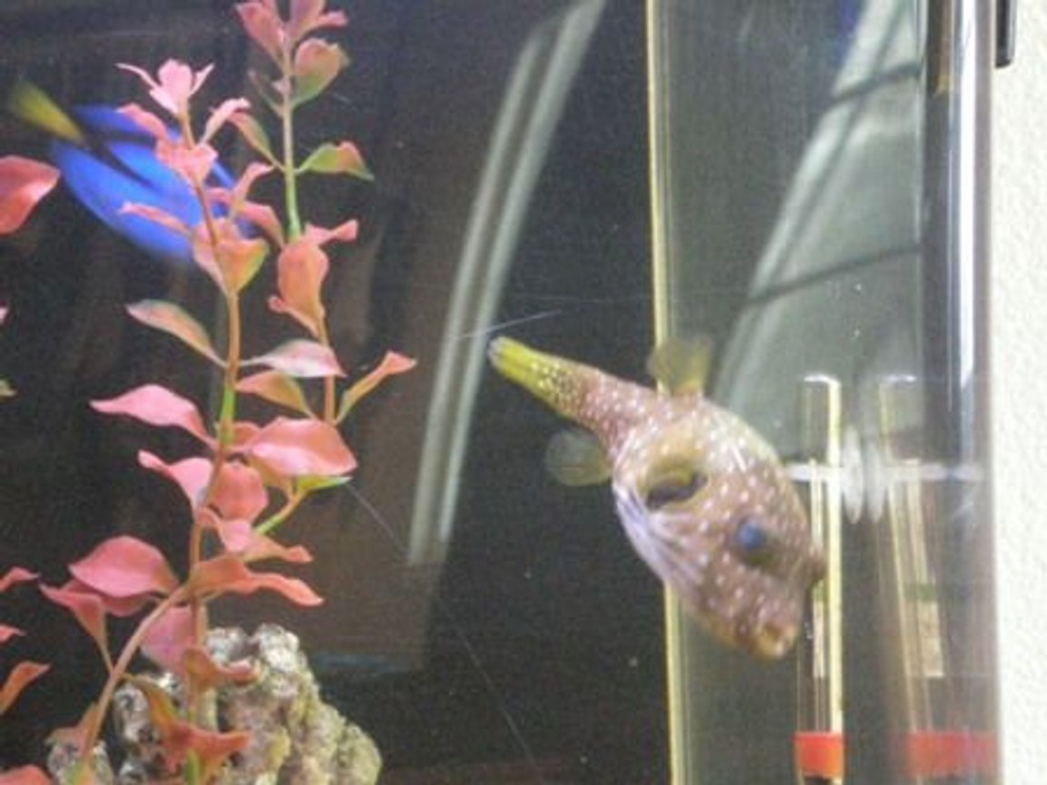 saltwater fish - canthigaster solandri - blue spotted puffer stocking in 55 gallons tank - My Puffer Sumo