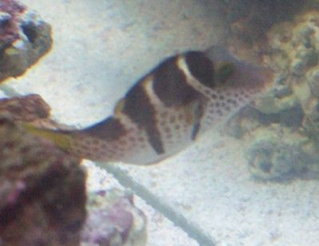 saltwater fish - canthigaster valentini - saddle valentini puffer stocking in 55 gallons tank - Valentini Puffer New2hobby