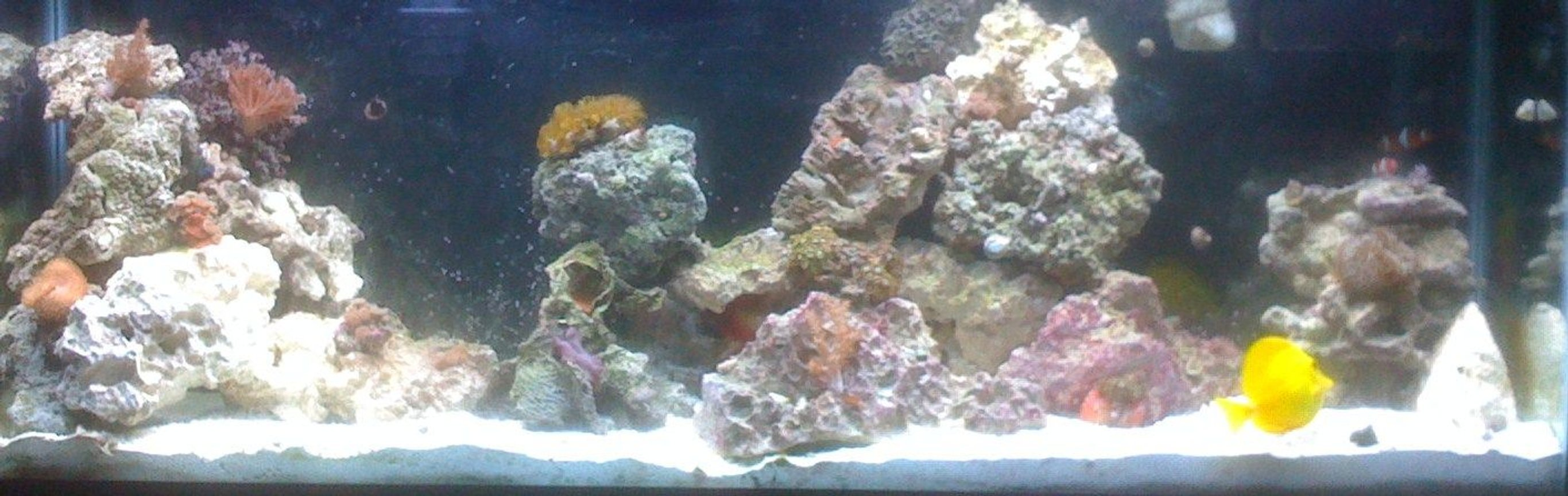 saltwater fish - zebrasoma flavescens - yellow tang - hawaii stocking in 55 gallons tank - other view