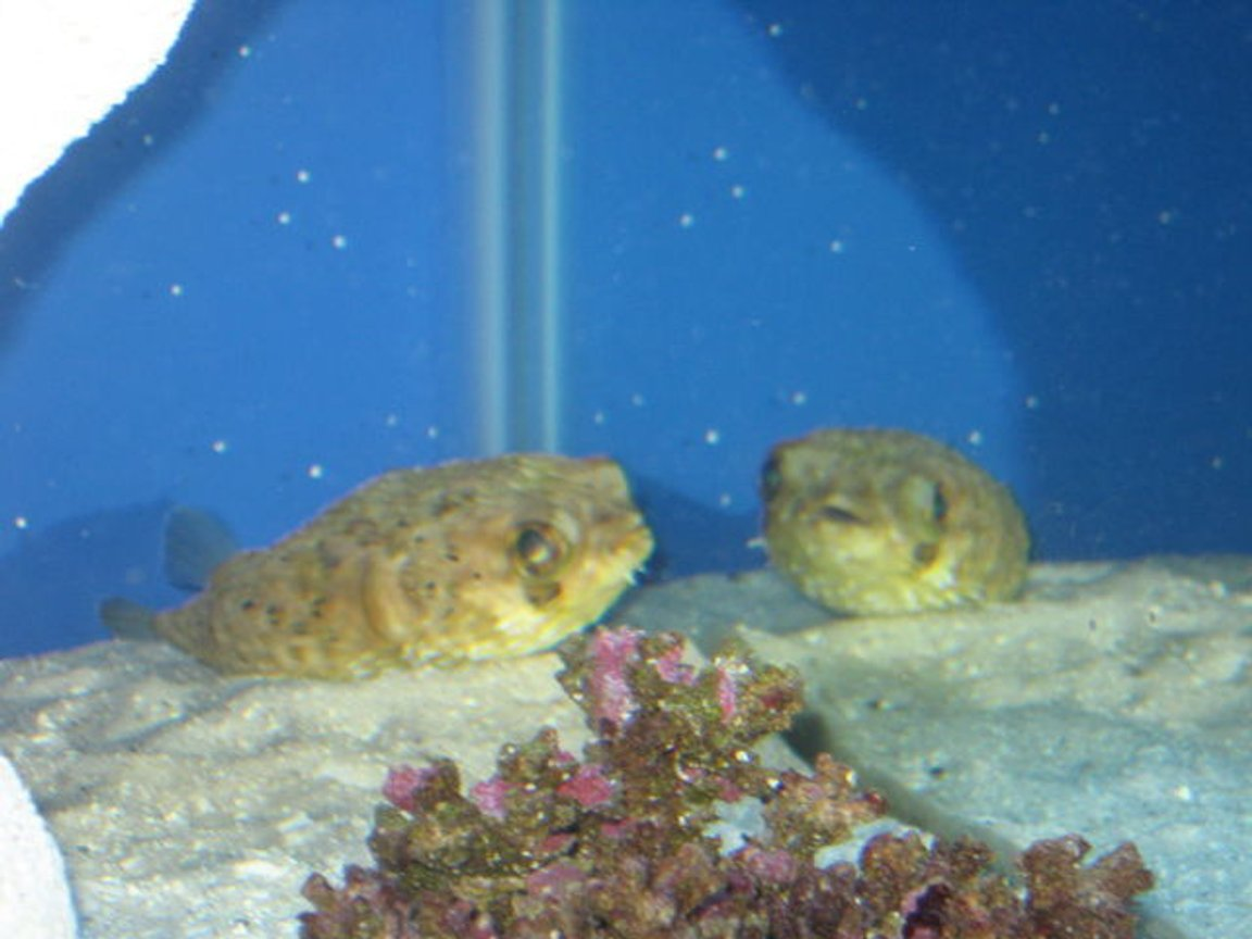 saltwater fish - diodon holocanthus - porcupine puffer stocking in 75 gallons tank - Reflections