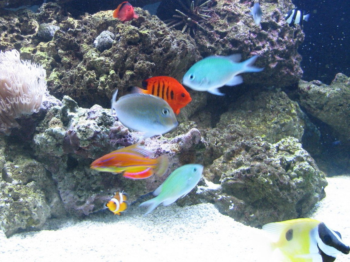 saltwater fish - chromis viridis - blue/green reef chromis stocking in 500 gallons tank - Feeding Time!