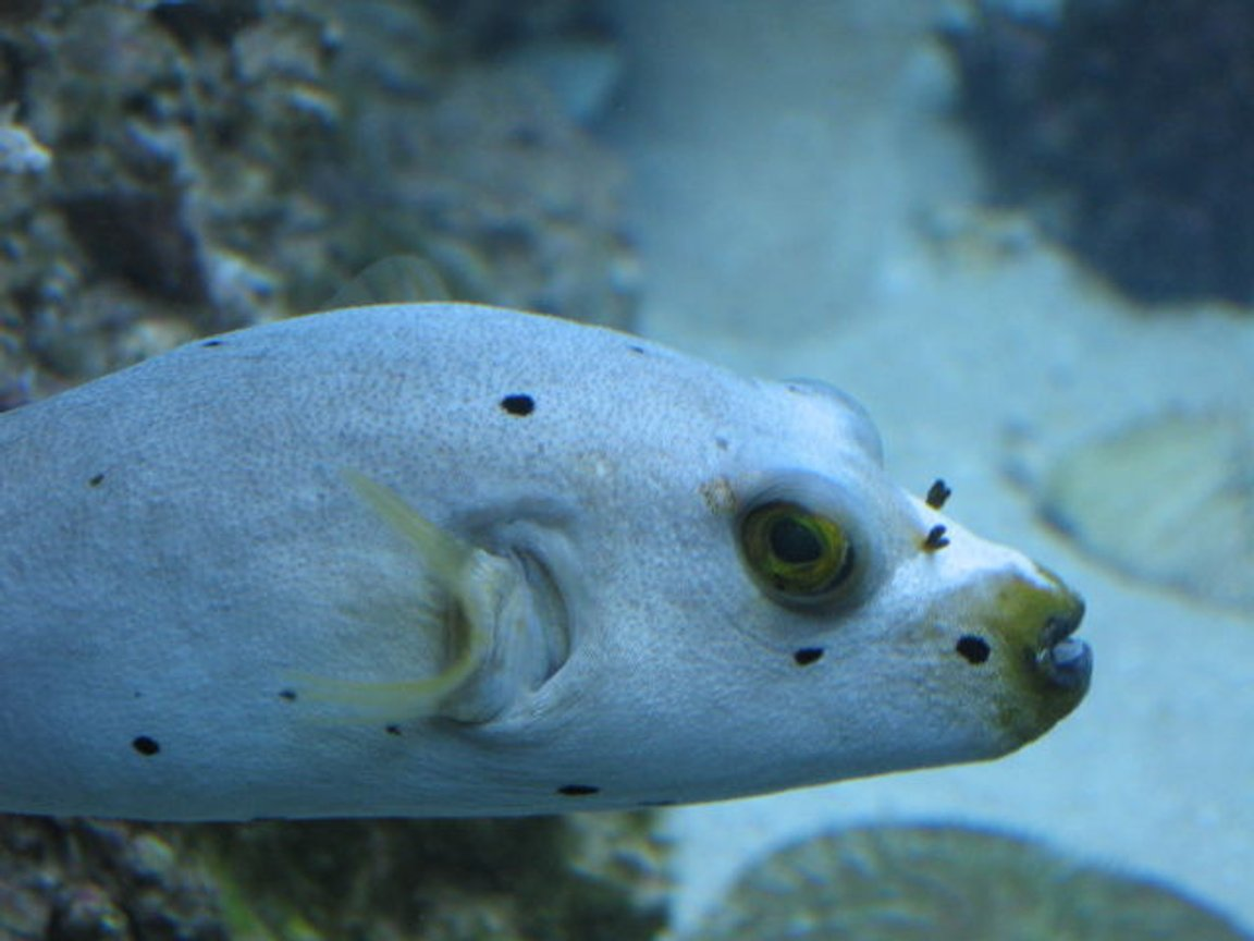 saltwater fish - arothron nigropunctatus - arothron dog face puffer stocking in 75 gallons tank - My Saltwater Pit Bull
