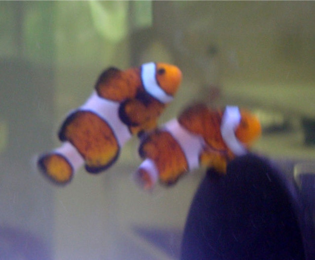 saltwater fish - amphiprion ocellaris - ocellaris clownfish stocking in 20 gallons tank - Occelaris Clowns, exploring their new home!