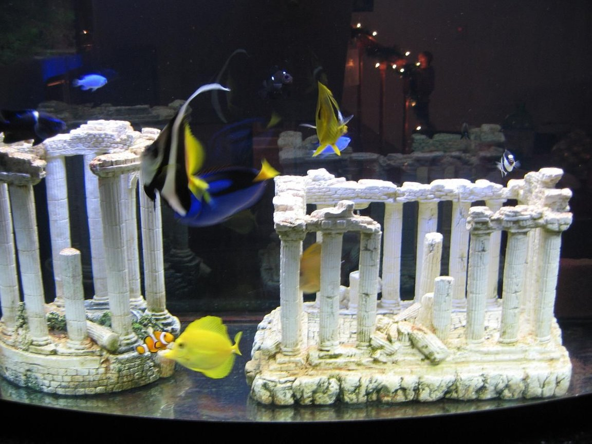 saltwater fish - heniochus acuminatus - heniochus black and white butterflyfish stocking in 72 gallons tank - 72 gallon all fish tank with greek column deco's.