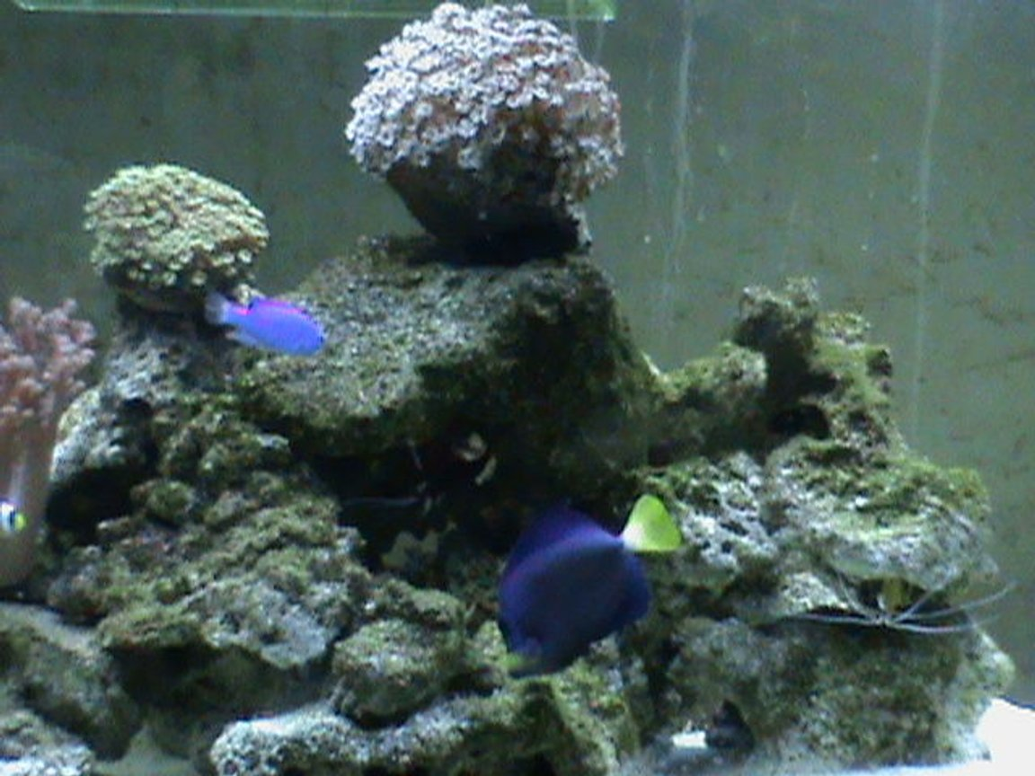 saltwater fish - acanthurus coeruleus - blue caribbean tang stocking in 72 gallons tank - purpel pot and blue tang